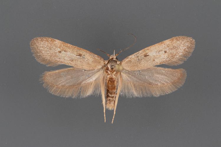 1547-Anoncia-longa-male-ii-191