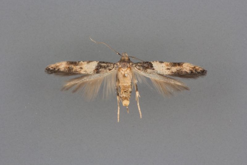 1615 Walshia miscecolorella male