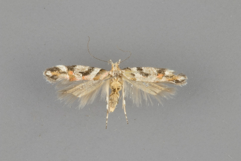1734 Aristotelia devexella female