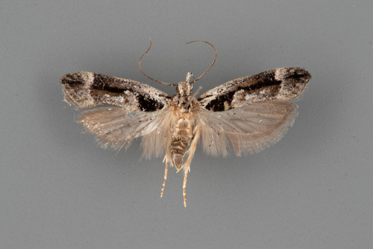 1862-Pseudochelaria-pennsylvanica-male