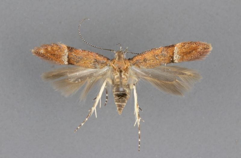 1913 Eudactylota iobapta_