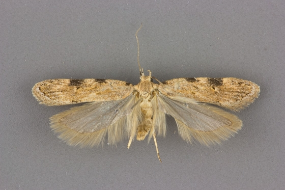 1916 Friseria cockerelli male