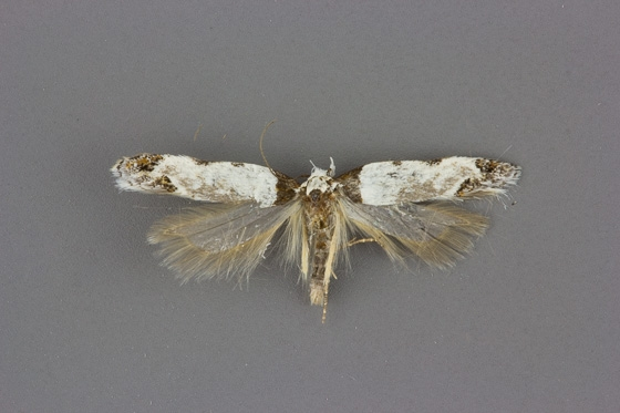 1918 Rifseria fuscotaeiaella male