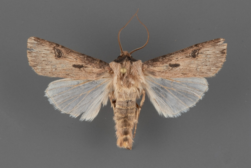 10661 Agrotis malefida male