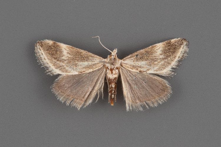 4798-Frechinia-helianthiales-male