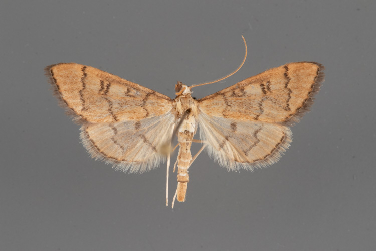 5182-Blepharomastix-ranalis-male