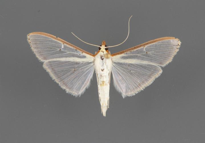 5218-Palpita-quadristigmalis-male