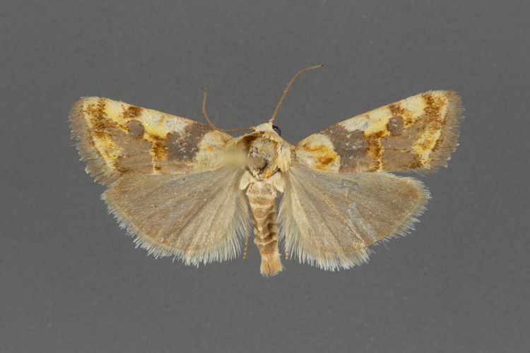 9130-Spragueia-obatra-female