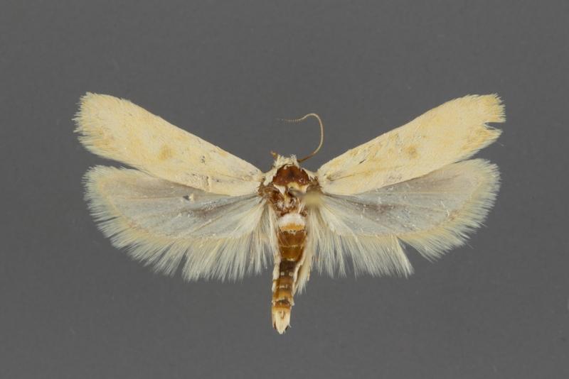 2051 Frumenta nephelomicta male