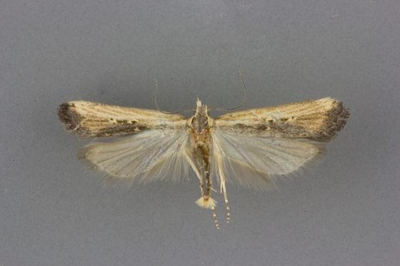 2303 Dichomeris simpliciella male