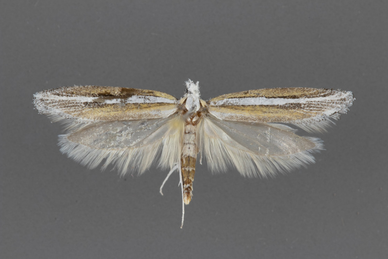 2383-Ypsolopha-gerdanella-male