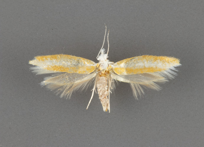 2427 Zelleria haimbachi male