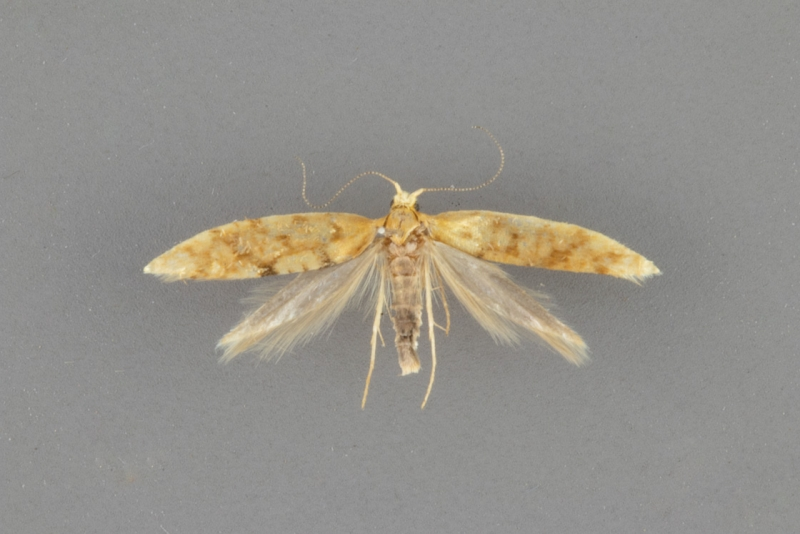 2435 Argyresthia alternatella