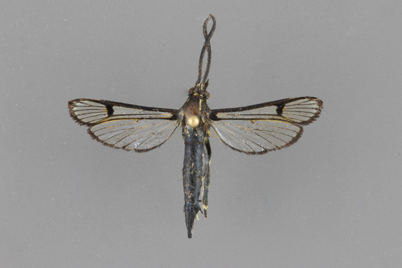 2583-Synanthedon-exitiosa-male-dorsal