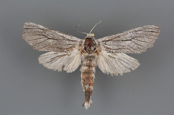 2657 Inguromorpha itzalana female
