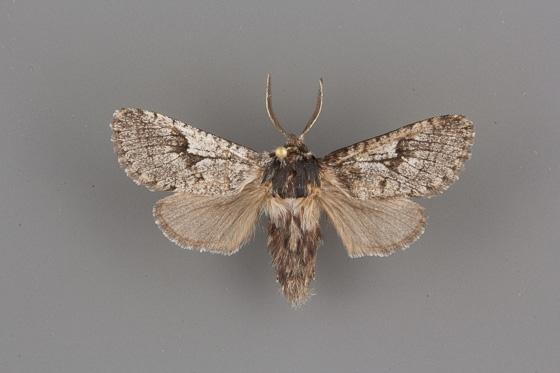 2686 Comadia bertholdi male