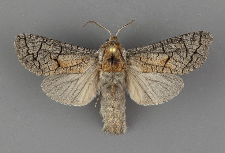 2695-Toronia-perplexus-male