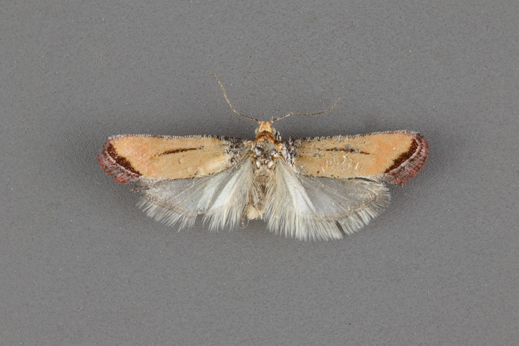 2874-Rhyacionia-salmonicolor-maleii-185