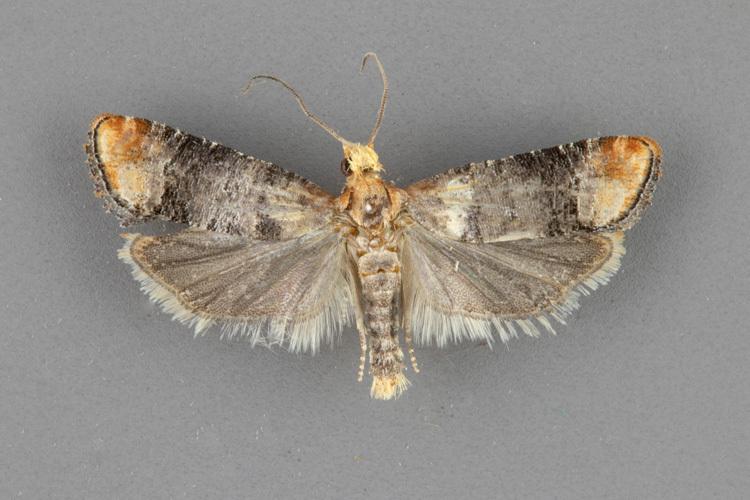 2897-Retinia-edemoidana-male