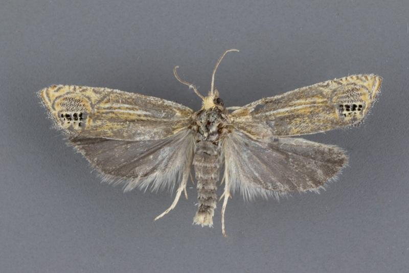 2926 Eucosma verna male ii-97