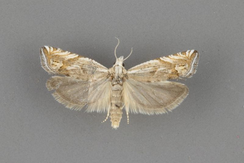 2947 Eucosma influana male
