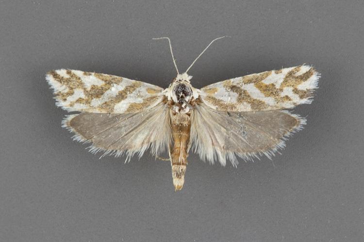3030-Pelochrista-ragonoti-female