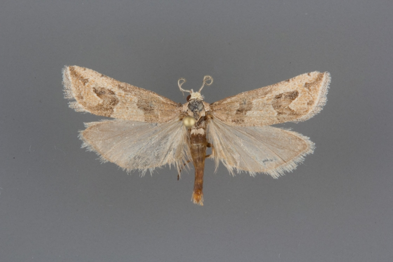 3138.2 Pelochrista diabolana male