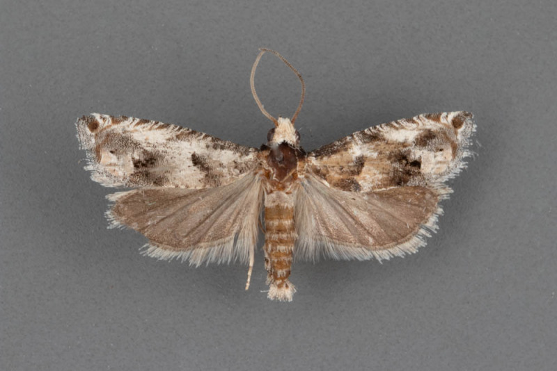 3141.2-Pelochrista-erema-male