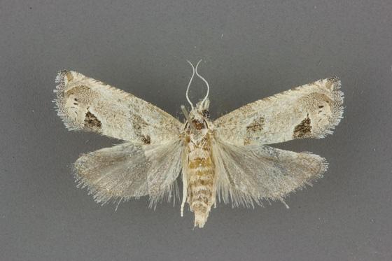 3138 Pelochrista mirosignata female