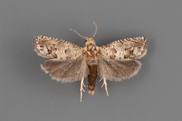 3165-Pelochrista-rorana-male