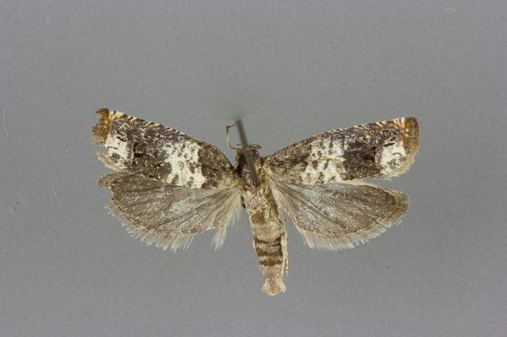 3185 Epiblema benignatum male