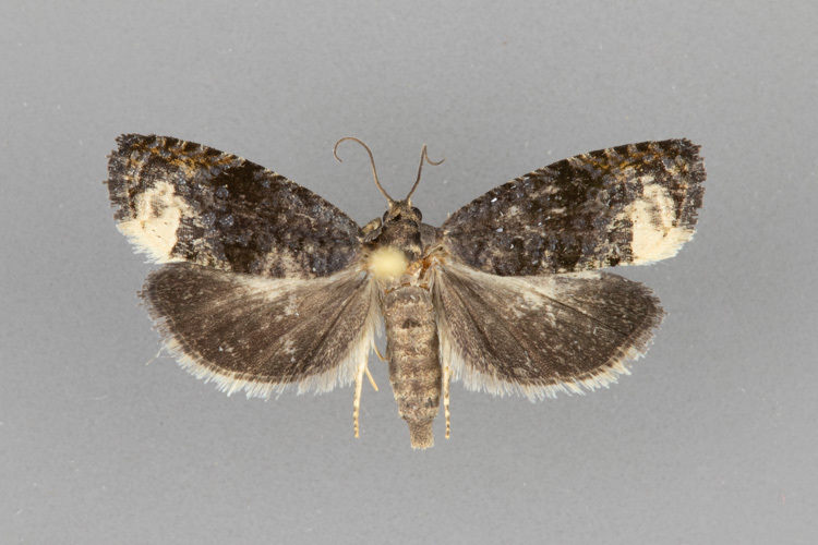 3495.3-Ecdytolopha-nigrita-female