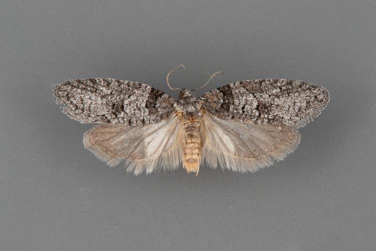 3573-Decodes-basiplagana-female.jpg