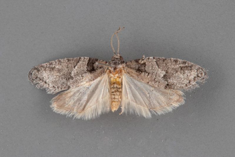 3573-Decodes-basiplagana-male