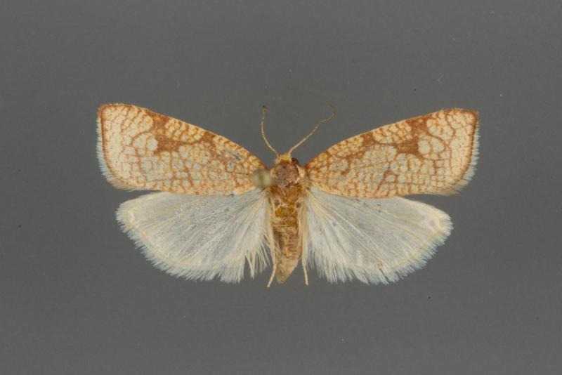 3581 Dorithia semicirculana female