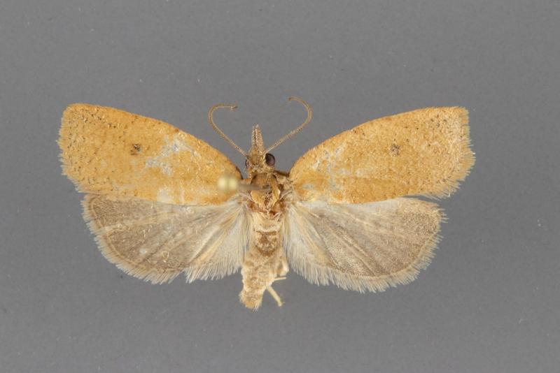 3729 Sparganothoides machimiana male