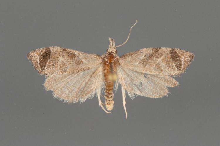 3821-Phtheochroa-perspicuana-male