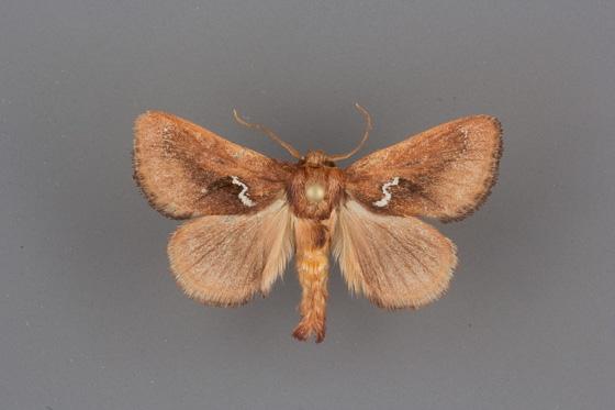 4690 Monoleuca obliqua male