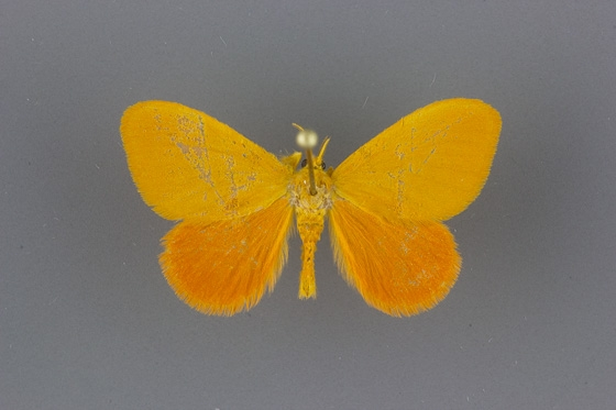 4702 Dalcerides ingenita male