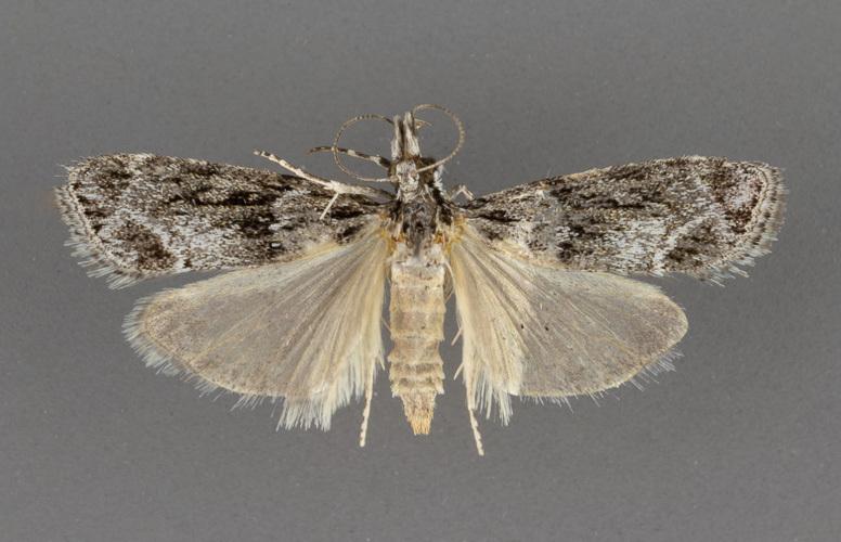 4730-Eudonia-spenceri-female