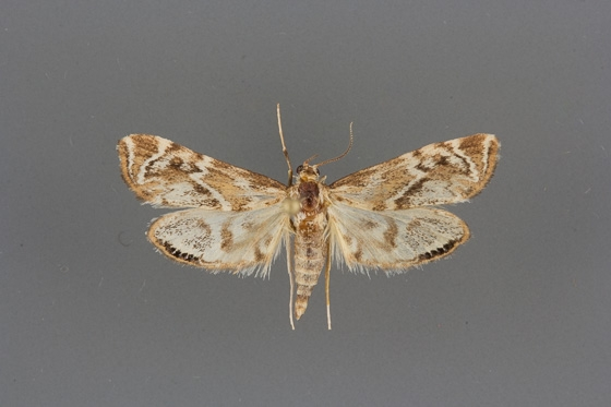 4782 Petrophila cronialis male