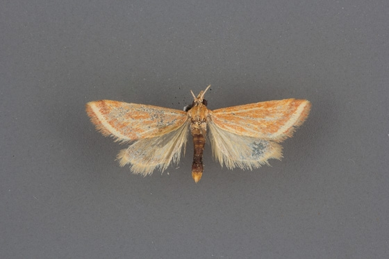 4796 Microtheoris ophionalis male