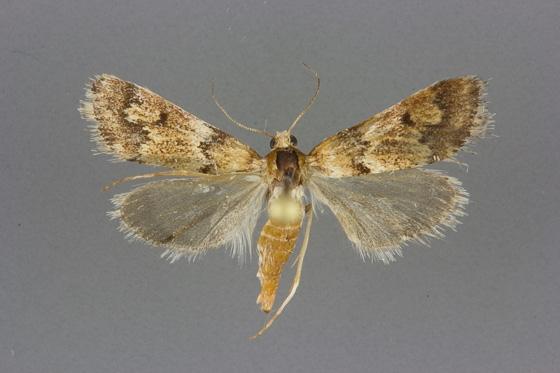 4830 Noctueliopsis brunnealis male