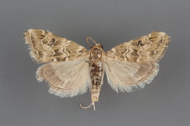 4846 Hellula rogatalis male