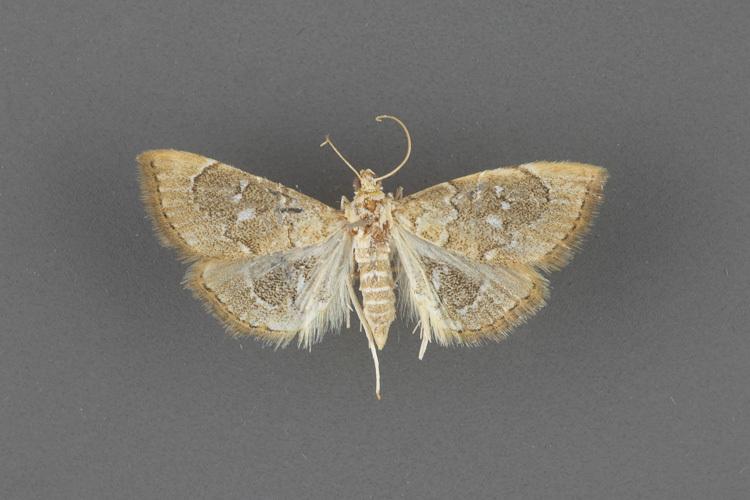 4858-Nephrogramma-separata-female-ii-183