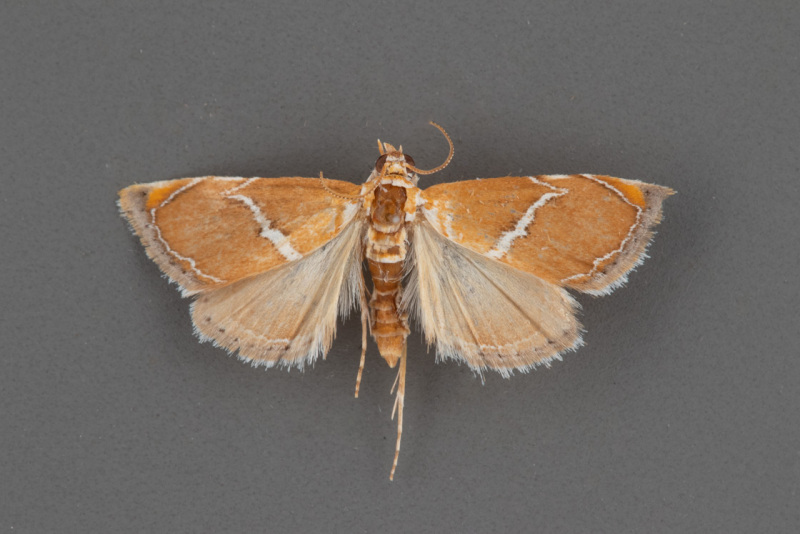 4866-Abegesta-reluctalis-male