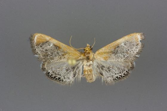4895 Chalcoela iphitalis male