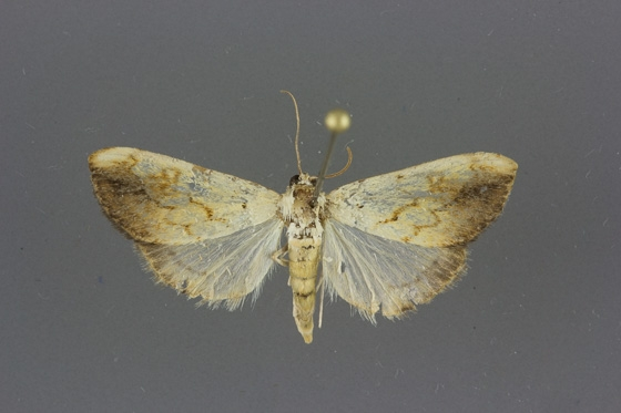 4899 Evergestis consimilis male