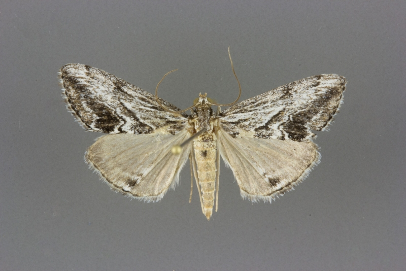 4904 Evergestis simulatilis male