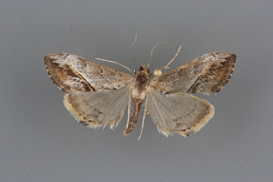 4912 Evergestis obliqualis female